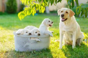 parent-dog-puppies