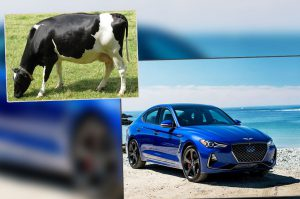 car-vs-cow