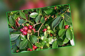 guava-palnting