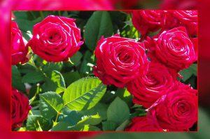 rose-planting