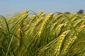 wheat-farming