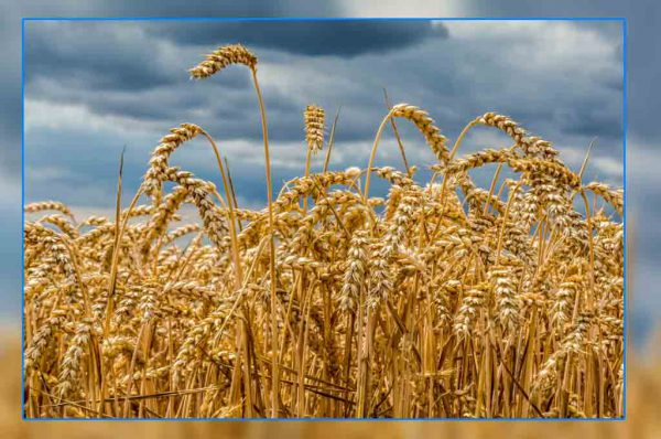 wheat-farming