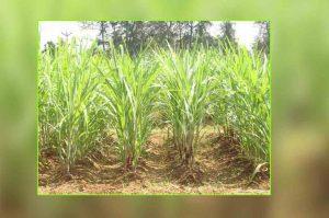 sugarcane-planting